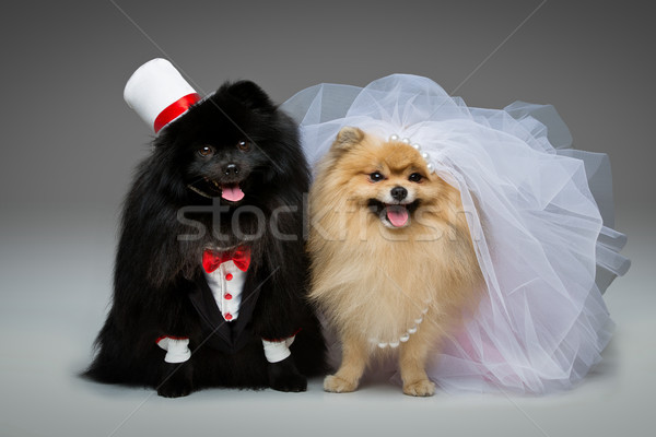 Spitz dog wedding couple Stock photo © svetography