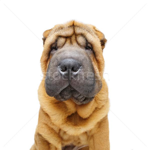 beautiful shar pei puppy Stock photo © svetography