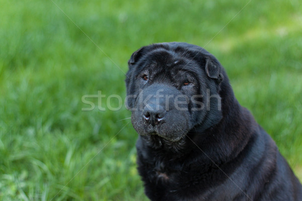 Güzel eski sharpei köpek çim bo Stok fotoğraf © svetography