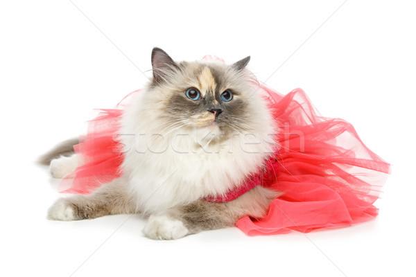 beautiful birma cat in pink dress Stock photo © svetography