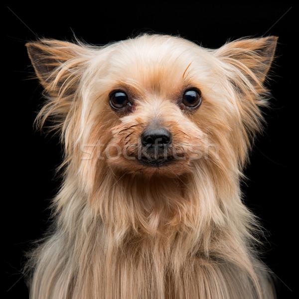 ヨークシャー テリア クローズアップ 肖像 美しい ストックフォト © svetography