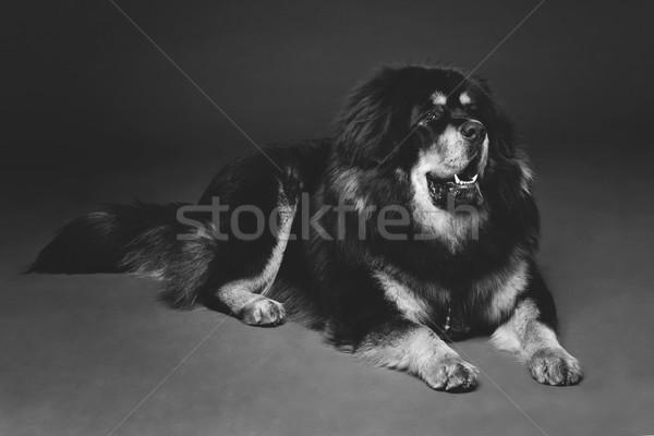 Beautiful big Tibetan mastiff dog Stock photo © svetography