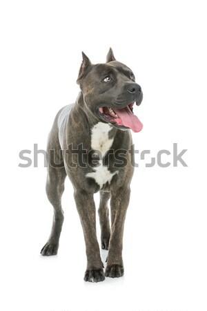 Gyönyörű kutya staffordshire terrier tigris kék szín Stock fotó © svetography
