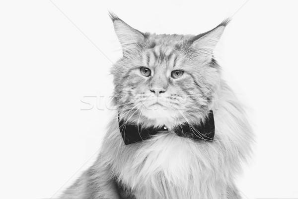 Piękna kot muszka duży czarny kopia przestrzeń Zdjęcia stock © svetography