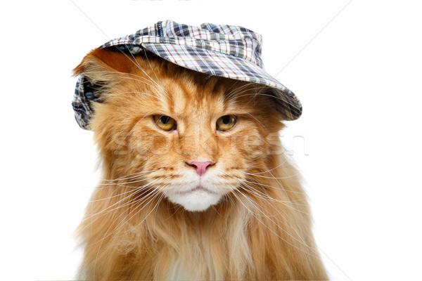 Gyönyörű Maine macska kalap gyömbér visel Stock fotó © svetography