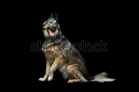 beautiful dog in hat isolated on black Stock photo © svetography