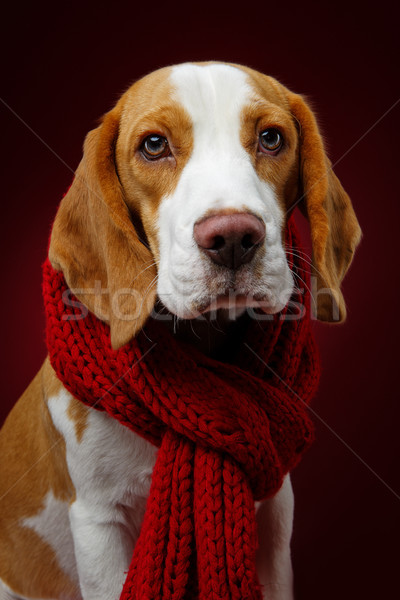 Belle Beagle chien fille écharpe rouge Photo stock © svetography