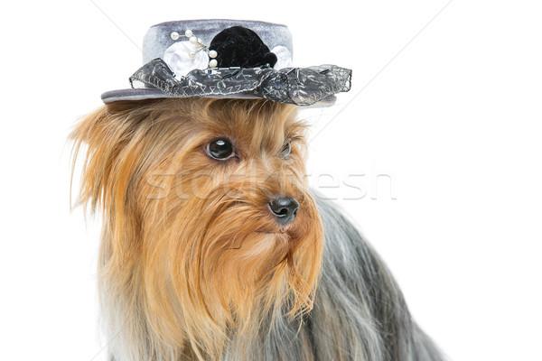 Mooie yorkshire terriër hoed portret hond Stockfoto © svetography