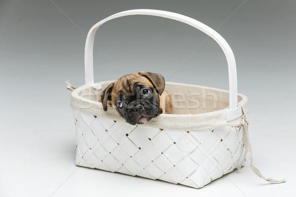Cute frans bulldog puppy mand mooie Stockfoto © svetography