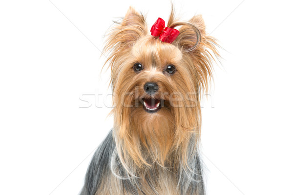 Stock photo: Beautiful yorkshire terrier sitting