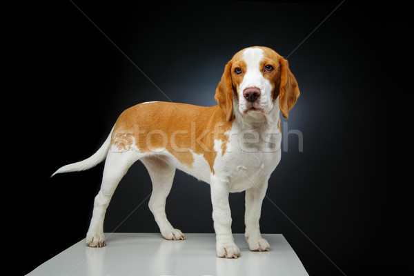 Belle Beagle chien fille isolé noir Photo stock © svetography
