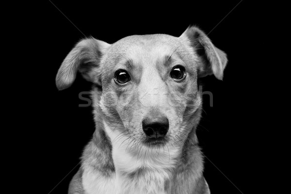Jack russell terrier portrait belle adulte Photo stock © svetography