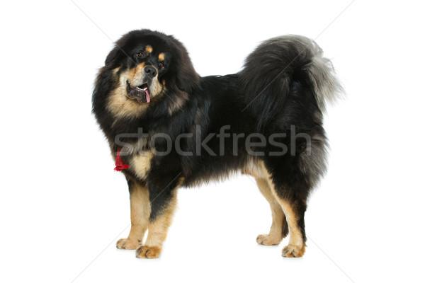 Сток-фото: красивой · большой · дог · собака · портрет · Постоянный