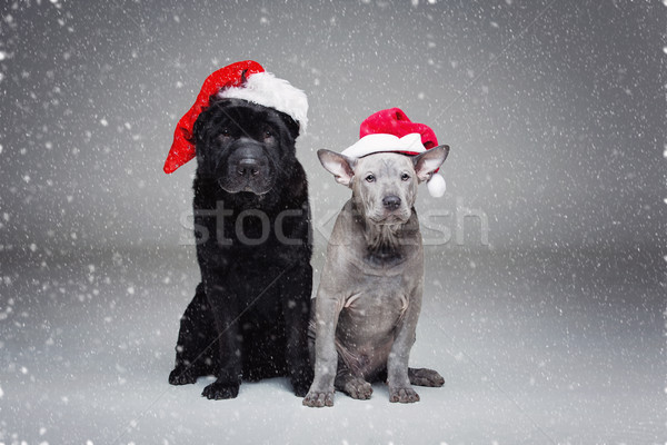 thai ridgeback puppy and shar pei dog Stock photo © svetography