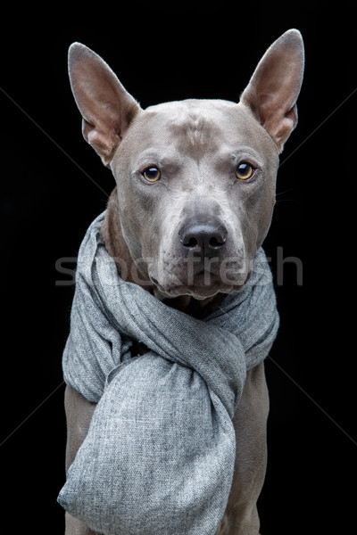 beautiful thai ridgeback dog in grey scarf Stock photo © svetography