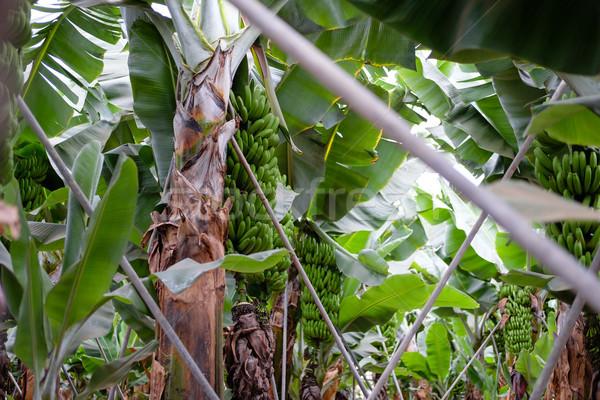 banana trees on Canarian island Stock photo © svetography