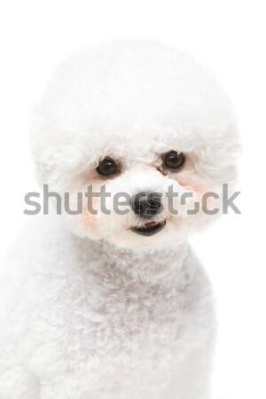 Сток-фото: красивой · собака · изолированный · белый · копия · пространства · счастливым