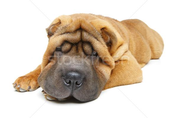 Gyönyörű kutyakölyök izolált fehér copy space arc Stock fotó © svetography