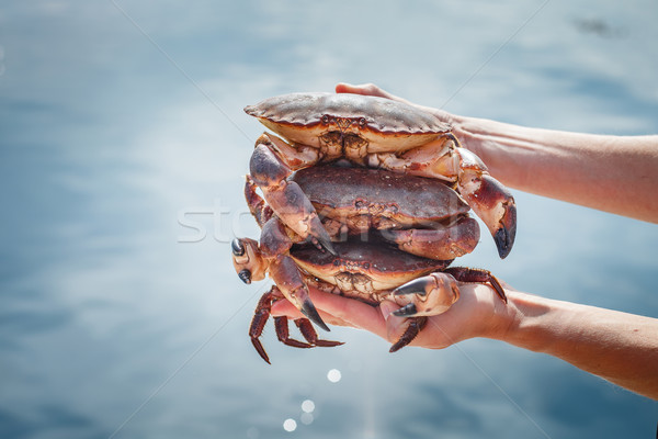 Three crabs Stock photo © svetography