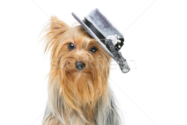 Beautiful yorkshire terrier in fancy hat Stock photo © svetography
