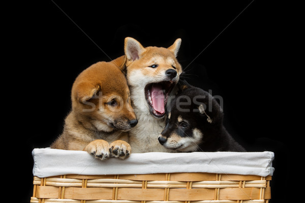 Beautiful shiba inu puppies in basket Stock photo © svetography