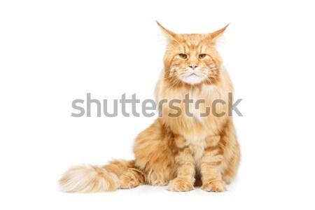 Gyönyörű macska csokornyakkendő nagy fekete copy space Stock fotó © svetography