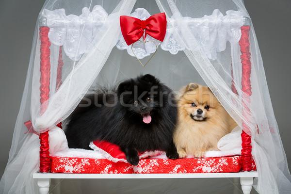 Spitz dog wedding couple on bed Stock photo © svetography