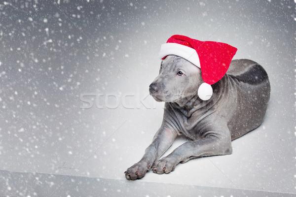 Thai kutyakölyök karácsony kalap gyönyörű hónapok Stock fotó © svetography