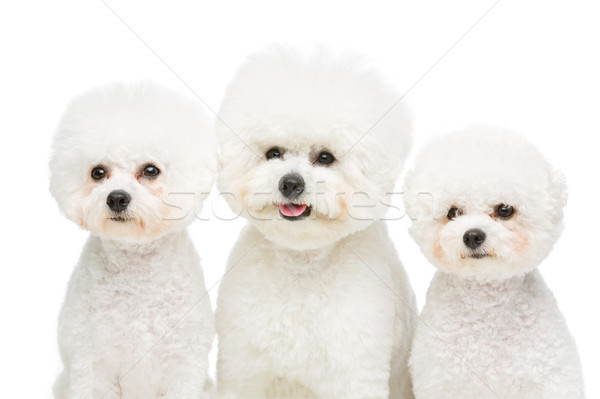 Hermosa perros tres aislado blanco espacio de la copia Foto stock © svetography