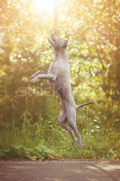 thai ridgeback dog outdoors Stock photo © svetography