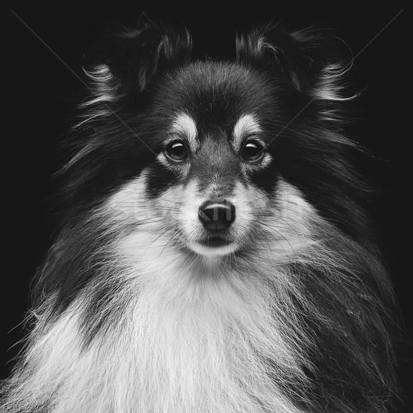 Stok fotoğraf: Köpek · portre · güzel · üç · renkli