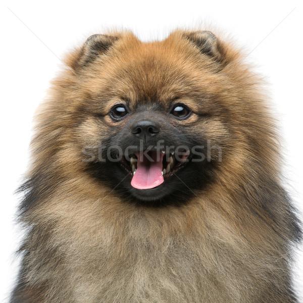 beautiful spitz dog on grey background Stock photo © svetography
