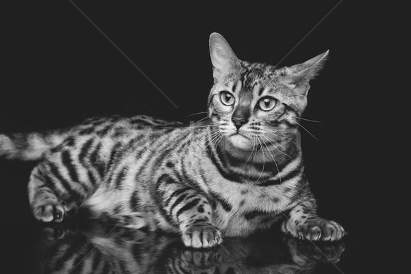 Mooie kat portret staren iets Stockfoto © svetography