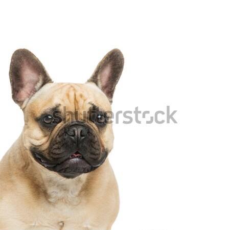 Beautiful french bulldog dog Stock photo © svetography