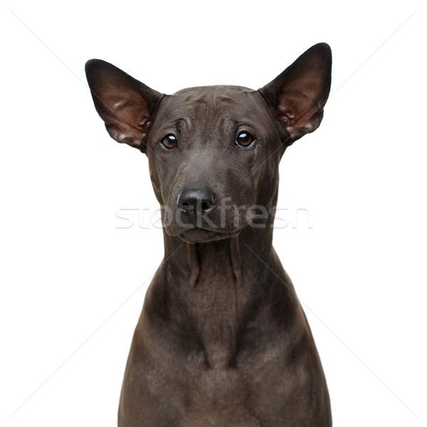 Foto stock: Belo · thai · cachorro · cão · super · curto