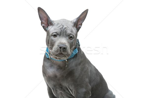 Thai ridgeback puppy Stock photo © svetography