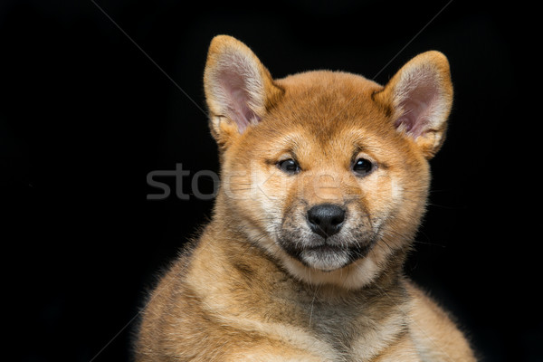 Stock photo: Beautiful shiba inu puppy
