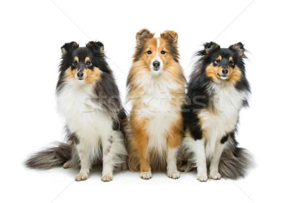 Stok fotoğraf: üç · köpekler · güzel · yalıtılmış · beyaz · bo