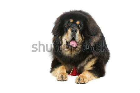 красивой большой дог собака портрет Постоянный Сток-фото © svetography