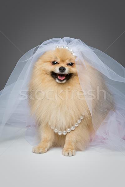 beautiful spitz bride on gray background Stock photo © svetography