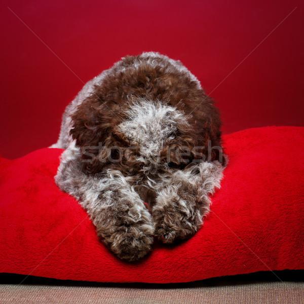 Schönen braun fluffy Welpen Hund Stock foto © svetography