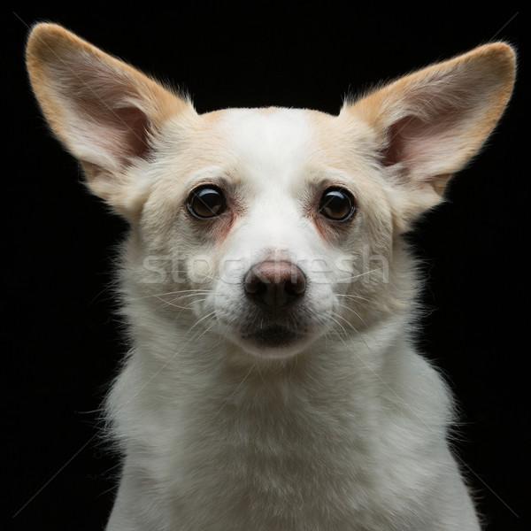 Metis dog Stock photo © svetography