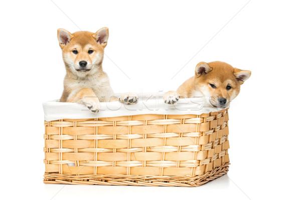Beautiful shiba inu puppies in basket Stock photo © svetography