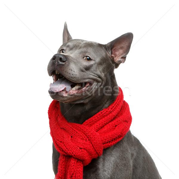 beautiful thai ridgeback dog in red scarf Stock photo © svetography