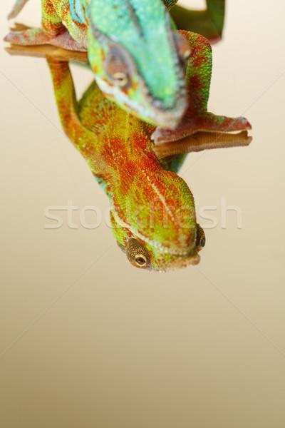 Levend kameleon reptiel vergadering spiegel oppervlak Stockfoto © svetography