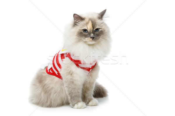 Stock photo: beautiful birma cat in red pullover