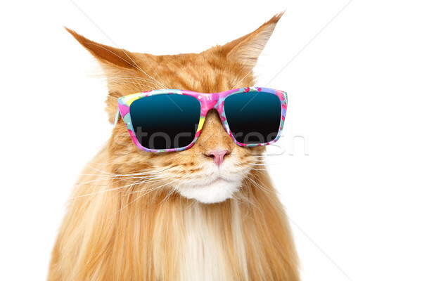 beautiful maine coon cat Stock photo © svetography