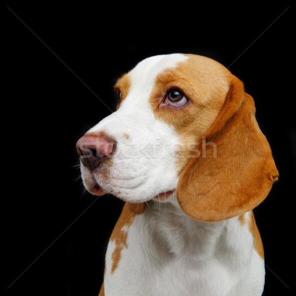 красивой Beagle собака девушки изолированный черный Сток-фото © svetography