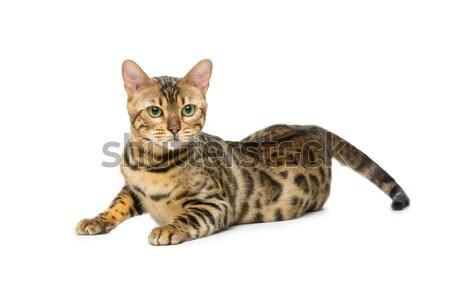 美しい 猫 肖像 孤立した 白 ストックフォト © svetography