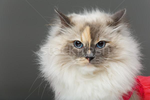 красивой кошки розовый платье долго мех Сток-фото © svetography